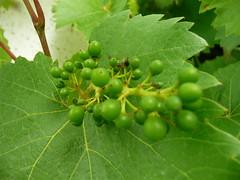 Unreife Weintrauben (Zwergenmutti) Tags: bayern deutschland natur garten oberfranken unreif weinblatt weintrauben