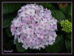 Hydrangea macrophylla (Mophead Hydrangea, Bigleaf Hydrangea, Hortensia) in lavender
