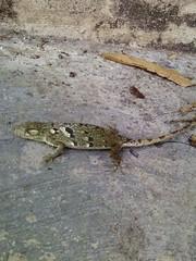 Falso camaleón 1
