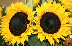 sunflowers as twins,have a nice day (dicau58) Tags: twins sunflowers top20colorpix fantasticflower