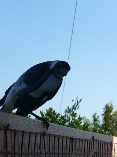 Magpie Says Hello!