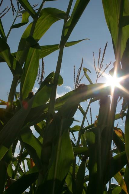 Maize: summer time