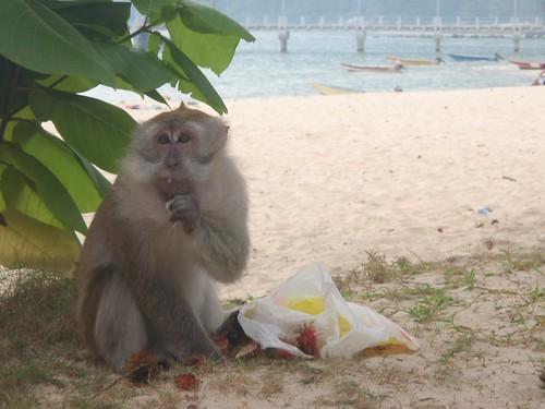 Mono en Pulau Tioman