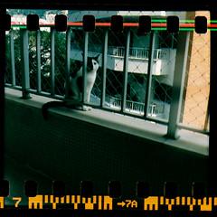 Sem Ttulo / Untitled (Andr Corra) Tags: cats film rio analog cat de lomo lomography analgica feline janeiro gatos negative diana gato felino felines filme expired emulsion analgico lsi varanda lomografia lomographic lomografica felidae lomobr vencido andrcorra lomografico emulso dianafsnowcat klickphotopointmax35mm200isocolor queimandofilme httpwwwqueimandofilmecom qfeass