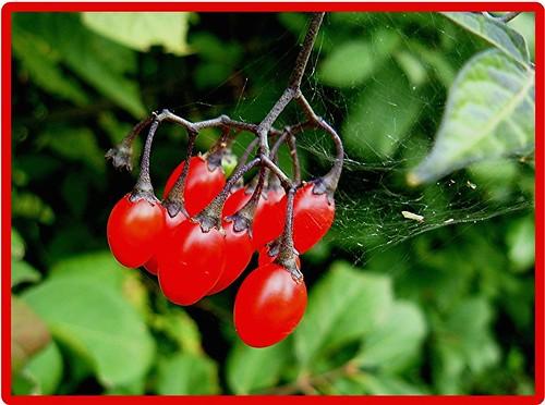 Poisonous Nightshade Berries