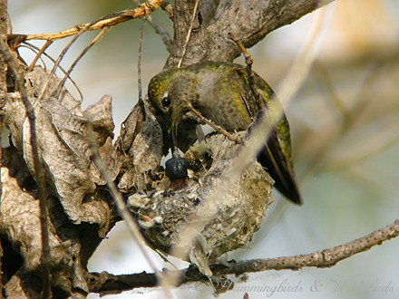 Anna's Hummingbird nest baby c02091-2