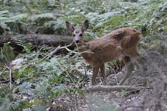 DSC_4532 (world through my lens) Tags: natuur ree weert nederweert edelhert reen edelherten weerterbos