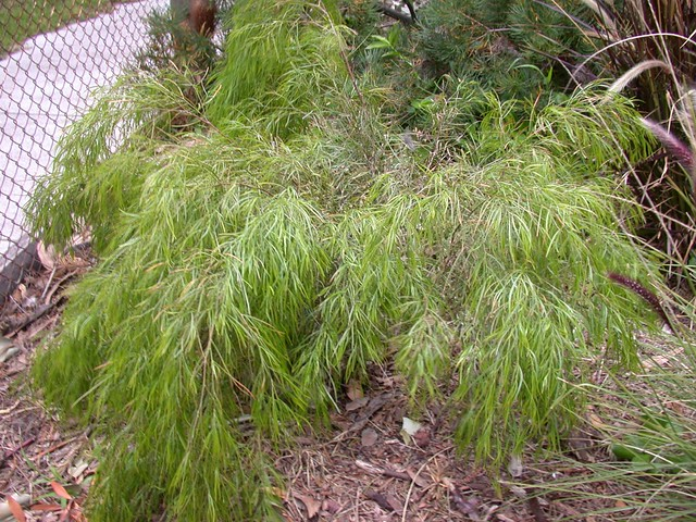 AcaciaCognata-GreenMist-8834