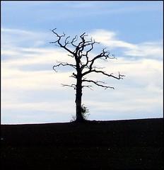 Dead tree (Peter Curbishley) Tags: sky tree silhouette landscape sussex haywardsheath deadtree solitary arbre lonetree lonesometree