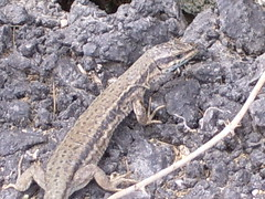 Common Wall Lizard (Tom_Martin2010) Tags: wall spain europe reptile wildlife lizard scales common cantabria iberia herpetology podarcis muralis walllizard podarcismuralis squamata herpetofauna squamate lacertidae commonwalllizard lacerdid europeanreptiles