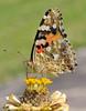 Vanessa cardui (paolo-55) Tags: macro butterfly nikon natura zinnia farfalla d300 vanessacardui supershot 105mmvrmicronikkor magicofaworldinmacro macromarvels goldstaraward ahqmacro vanessadelcardo rubyphotographer soloreflex beautifulmonsters