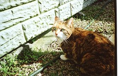 sunny day for cats (Adele M. Reed) Tags: green film cat 35mm eyes whiskers 200 kodacolor sheepy nikonl35af2