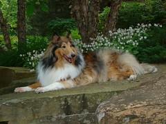 Kody Chillin (sylvia1sam) Tags: dog dogs collie rough zack lassie kody herding roughcollie