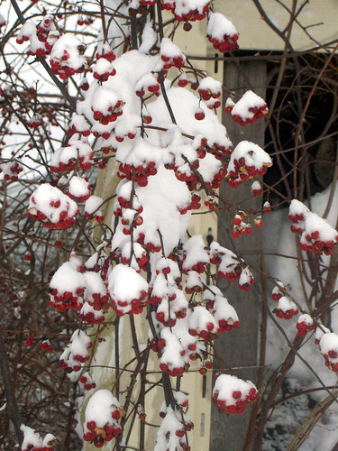SnowBerries_11209