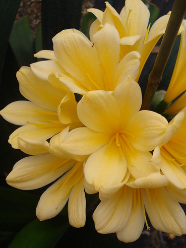 the flowers of clivia plants are orange lily like and borne in crowded clusters atop a thick stem once per year usually in early spring - Low Light Flowering House Plants