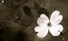 Flawed Beauty (Baab1) Tags: flowers trees blackandwhite monochrome sepia petals spring nikon dof bokeh blossoms maryland textures dogwoods d300 southernmaryland calvertcountymaryland marylandstatetree huntingtownmaryland