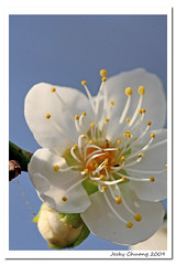 Plum blossom -  (Jecky~~) Tags: flowers flower canon blossom plum cannon plumblossom 30d   canon30d jecky
