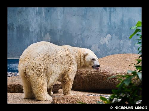 The popular bear...