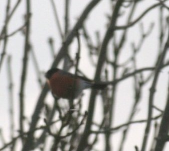 bullfinch family 1 Feb 09