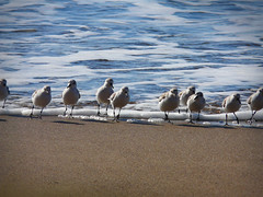 Sanderlings: Run! (Bobbie) Tags: california beach birds mendocino schoonergulch