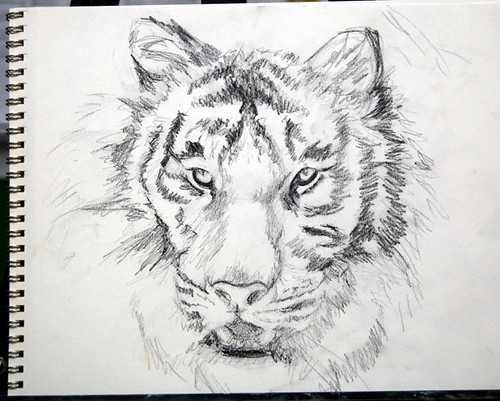 Tiger sketch by Kathleen Coy