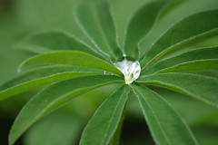 Captured raindrop (bigbrowneyez) Tags: flower macro nature water leaf escape captured center route choose raindrop lupines otw