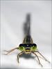 Great Horse of Devil (Sator Arepo) Tags: macro reflex dragonfly olympus damselfly zuiko extensiontube e500 caballitodeldiablo uro ex25 50mmmacroed fzfave retofz090818