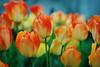 Tulips (snodiva360) Tags: flower spring tulip winnerbc