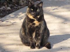 """Chelsea"", the third Piscataway stray cat. (Hazboy) Tags: pet cats cat newjersey kat feline chat chelsea united kitty gato gata neko katze macska cica gatto חתול pussycat poes kočka kedi katt straycat pusa gati kocka кот katinas แมว hazboy hazboy1 catnipaddicts बिल्ली κατηγορία پشو"