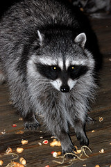 Raccoon and Pasta (Grendl) Tags: pine cove coon idyllwild raccoon f56 nikkor mapache waschbr 100300 procyon lotor orsetto procyonidae lavatore  araiguma noncpu nonmetering ahrahkoonem mapachitli