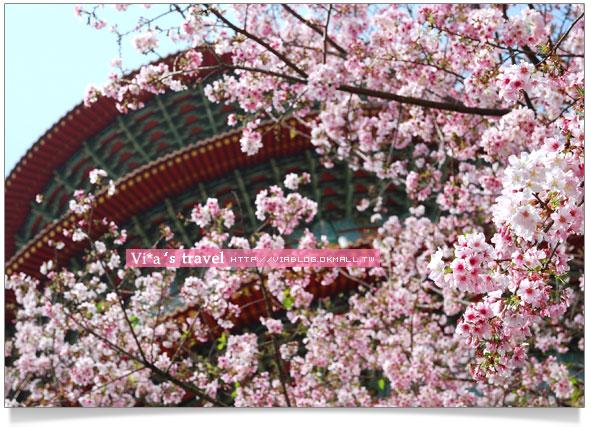 【2009天元宮櫻花】淡水天元宮賞櫻~滿滿吉野櫻搶先看
