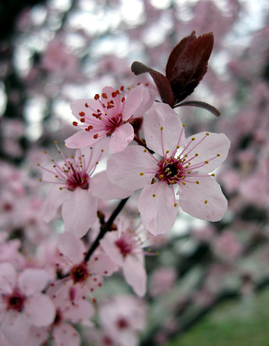 japanese flowering cherry, Natural flower