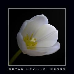 Solo Tulip (quiksilver_ice) Tags: white flower macro green yellow petals stem 100mm pistil stamen tulip pollen flowerpicturesnolimits macrophotosnolimits canoneos450d macrounlimited