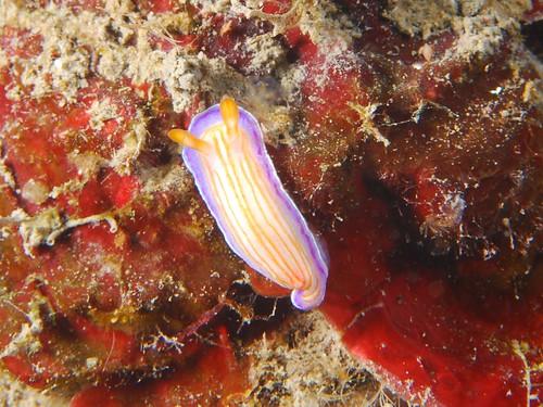 螢光葵花子海蛞蝓(1)