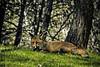 El zorro de Monfragüe