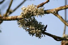 Tree lichen (jurassic john) Tags: tree spring branch devon lichen rhs westcountry eos400d