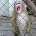 Snow Monkey without Canine Teeth
