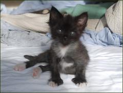 No bigger 'n a minute... (rootcrop54) Tags: kitten polydactyl mittens hemingway socks extratoes sweetkittensweeten neko nekochan gato gatto chat kedi 猫 kočka kissa chatte γάτα macska köttur kucing 고양이 kaķis katė katt kot pi-sică кошка mačka maček gorbe batman cc1000 cc4000