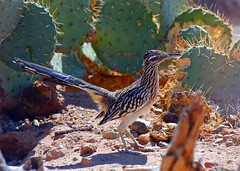 Roadrunner in cacti (wplynn) Tags: arizona art birds ink hall artist desert wildlife fine arts roger sonoran roadrunner inkart rogerhall rogerdhall