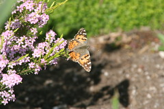 Painted Lady Resting (kzuhr) Tags: butterfly paintedlady