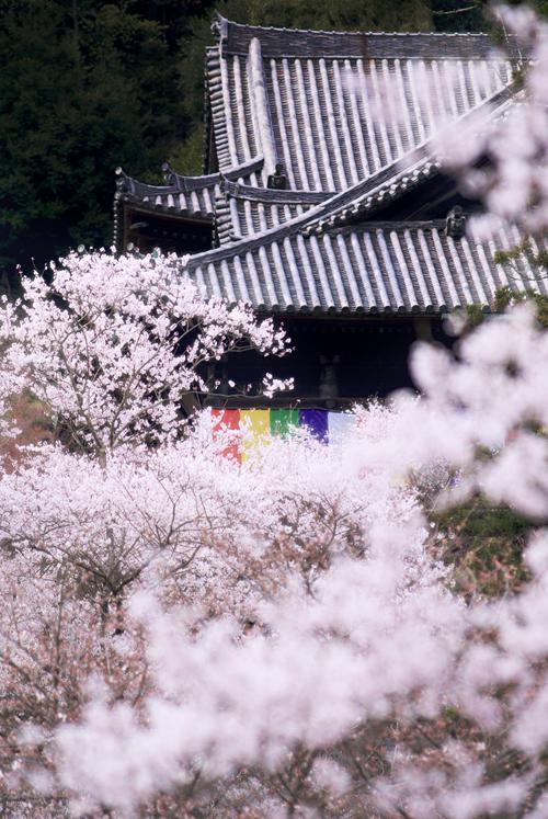 桜、長谷寺。