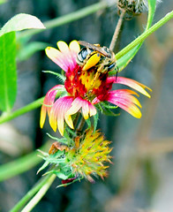 Wild Bee On Flower (jwinfred) Tags: flowers macro nature mississippi nikon insects delta cypress 90mm preserve greenville d300