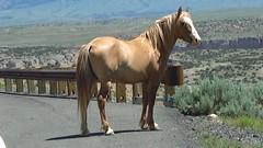 Wild Palomino Video clip (tbirdshockeyfan) Tags: horses video montana videoclip wildhorses palomino pryormountains bighorncanyonnationalrecreationarea