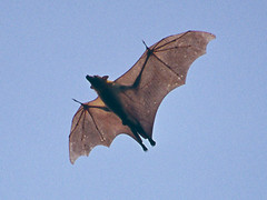 fruit bat (Colognid) Tags: africa west animal danger analog mammal zoo bat slide slidefilm ghana bats hendra fruitbat nipah fledermaus nikonf80 gefahr kumasi klauen sugetier ghanaian flughund eidolonhelvum henipa flyingfruitbat palmenflughund afrikanischeflughunde henipavirus henipaviren