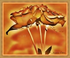 **I want These Roses To All My Friends Of The Flickr!!!** (♫ Photography Janaina Oshiro ♫) Tags: roses naturaleza macro nature japan sepia digital amigo friend natureza amizade rosas hdr dedicação nikond90