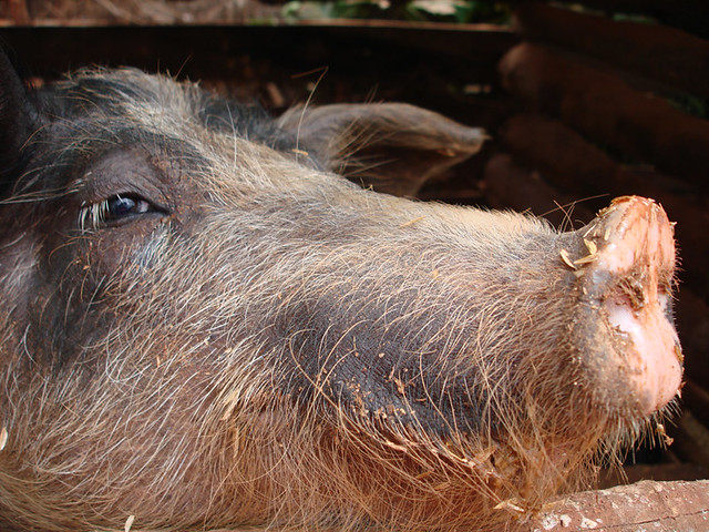 Pig's eye