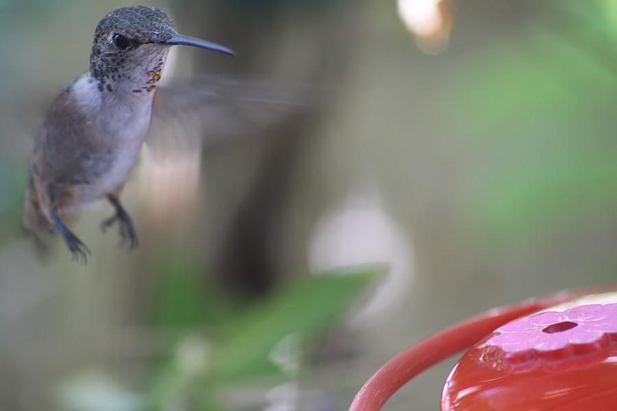 Allen's Hummingbird1507091