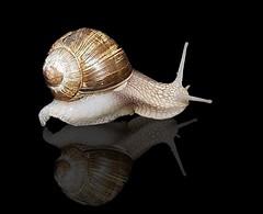 snail on tour (Eisgräfin (very busy)) Tags: reflection nature snail spiegelung soe schnecke onblack supershot bej abigfave platinumphoto anawesomeshot theunforgettablepictures macrolife natureselegantshots saariysqualitypictures eisgräfin oscarandtheworld