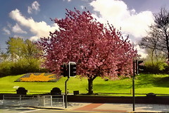 springtime (Harry Halibut) Tags: road street york pink blue red sky tree green yellow lights spring traffic blossom leeds barrier allrightsreserved colourbysoftwarelaziness leeds080501120 andrewpettigrew