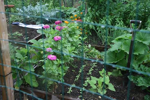 rainy garden zinnias